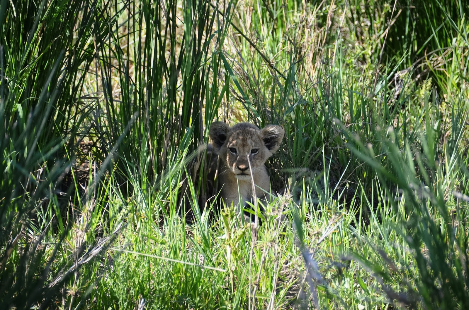 lion cub in greater kruger