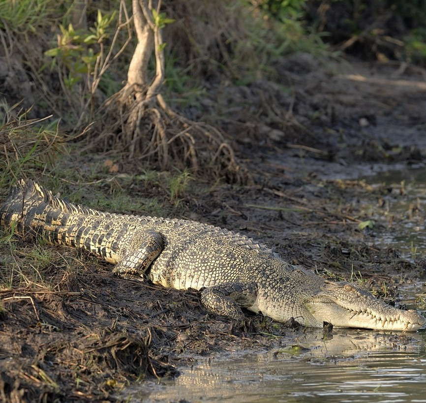 A saltwater crocodile.