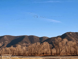 Geese flying over the Yellowstone River, Montana