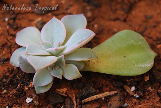 Planta suculenta brotando de una hoja por multiplicación asexual
