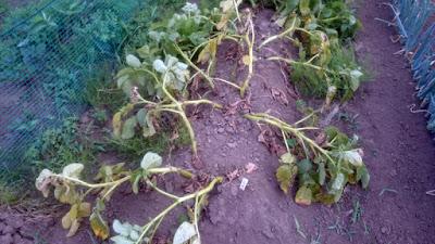 葉茎が枯れ始めて収穫時期が到来した「とうや」