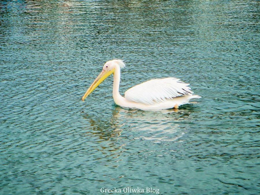 pelikan na morzu