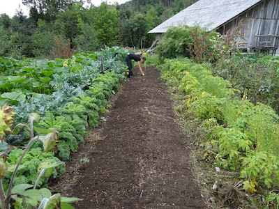 Tidy Rows of Vegetables growing in garden