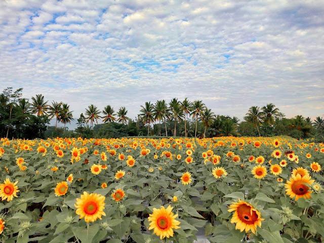 kebun bunga matahari jateng