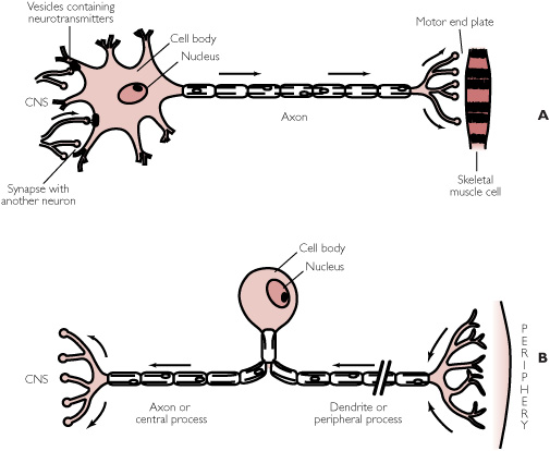 Motor neuron vs sensory neuron structure boards the bottom one ccuart Image collections