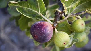 Benefits of Figs for Health - 2