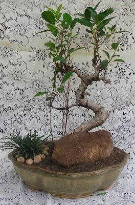ficus bonsai ahmedabad