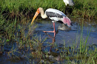Buntstorch - painted stork