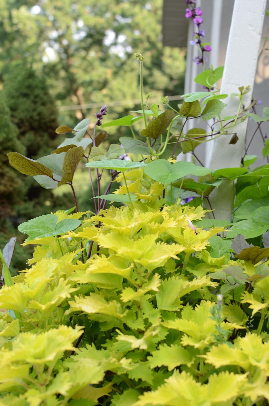 Lime Coleus Cuttings at A Nest for All Seasons with Amy Renea
