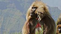 gelada_ Theropithecus gelada pictures