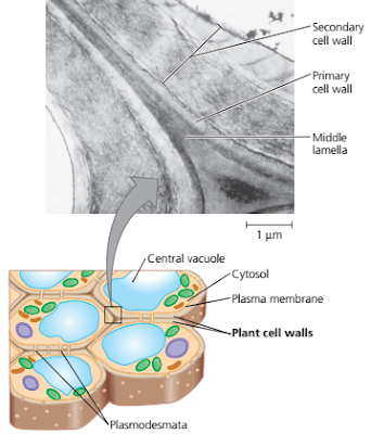 dinding sel primer (primary cell wall), Lamella tengah (middle lamella), (adjacent cell, dinding sel sekunder (secondary cell wall), plasmodesmata