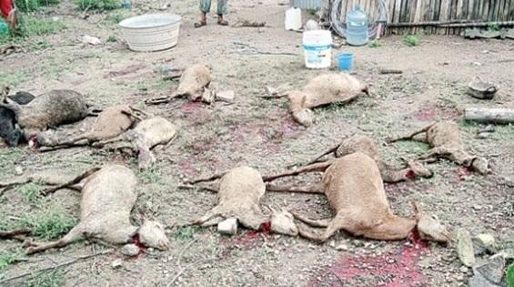 "Misteri ""El Chupacabra"" Anjing Penghisap Darah Hewan Ternak + Foto Penampakan"