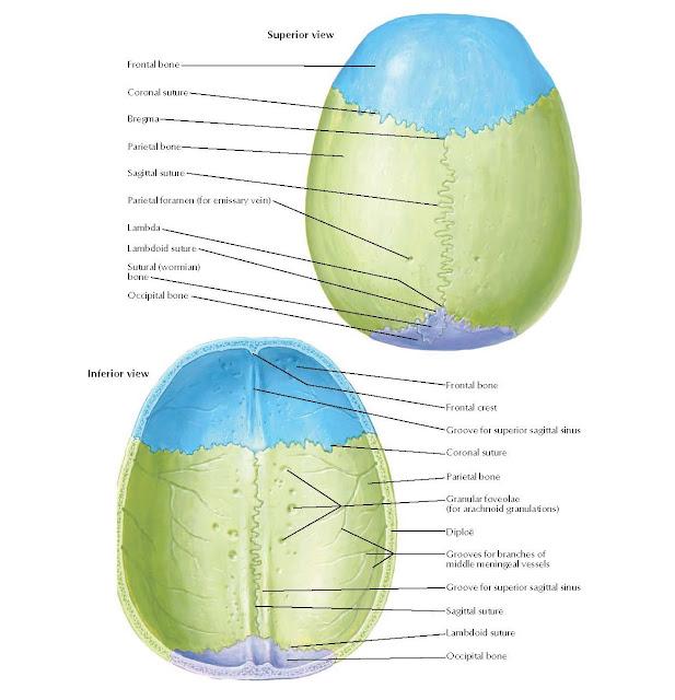 Calvaria  Superior view : Frontal bone, Coronal suture, Bregma, Parietal bone, Sagittal suture, Parietal foramen (for emissary vein), Lambda, Sutural (wormian) bone, Lambdoid suture, Occipital bone.  Inferior view : Frontal bone, Frontal crest, Groove for superior sagittal sinus, Coronal suture, Parietal bone, Granular foveolae (for arachnoid granulations), Diploë, Grooves for branches of middle meningeal vessels, Sagittal suture, Groove for superior sagittal sinus, Lambdoid suture, Occipital bone.