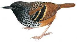 Scalloped Antbird