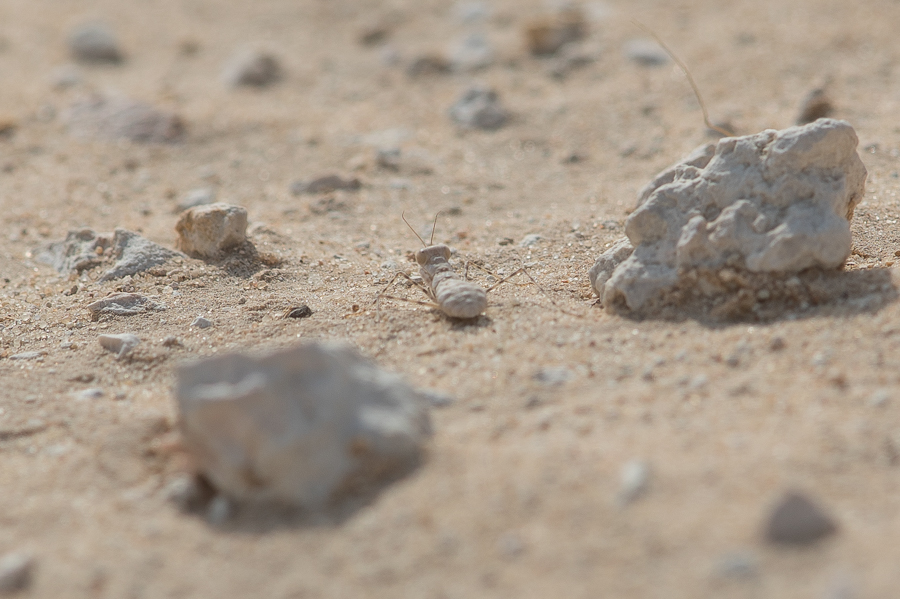 Common Ground Mantis