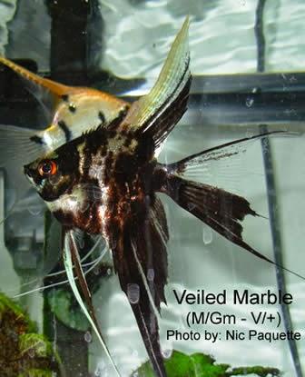 Dunia Ikan Hias - Marble Manfish