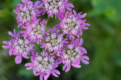 Heracleum austriacum - Austrian Hogweed (Panace austriaco)