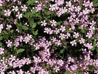 Saponaire faux basilic - Saponaire de Montpellier - Saponaria ocymoides