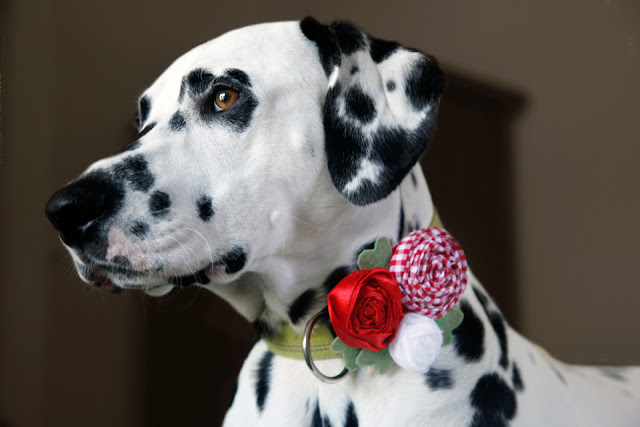 Dalmatian dog wearing a DIY rolled ribbon rosette dog collar