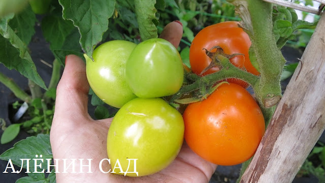 Утёнок, томаты, помидоры, сорта томатов, желтые томаты, аленин сад