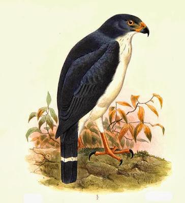 Gavilán dorso plomizo Leucopternis semiplumbeus