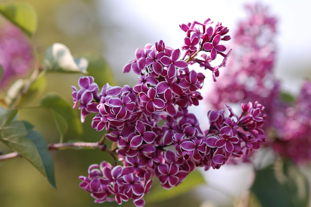 Цветы имени Софья сирень