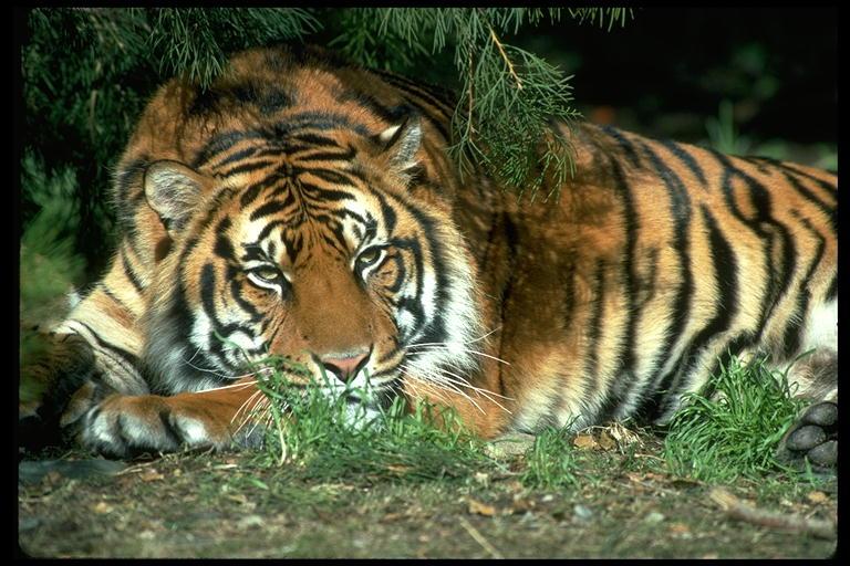 Cara Menjadi Manusia Harimau Dengan 150 Rupiah Puput Setiyawan