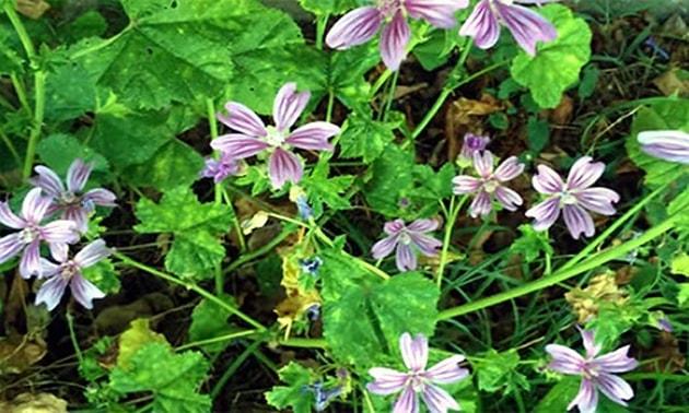 Malva (Malva sylvestris L.)