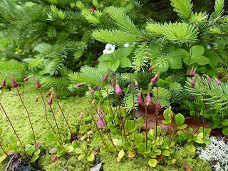 Linnée boréale - Linnaea borealis