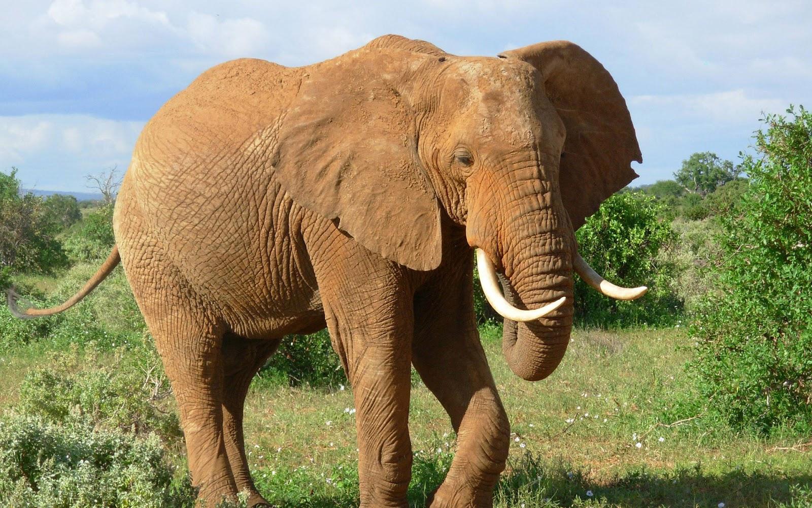 Wallpaper download elephant - Beautiful Elephants High Resolution Images