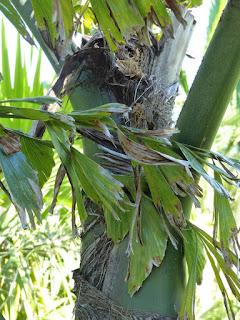 Caryota kiriwongensis - Palmier de Kiriwong