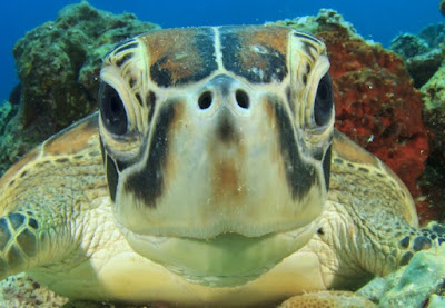 Decline of crocodile ancestors was good news for early marine turtles