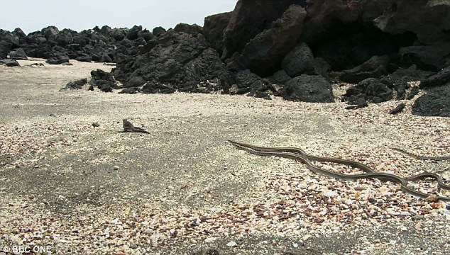 Marine Iguana vs SnakeSSS - The Best BBC Planet Earth Documentary Video I've Ever Seen