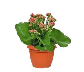 Gambar Bunga Cocor Bebek 1