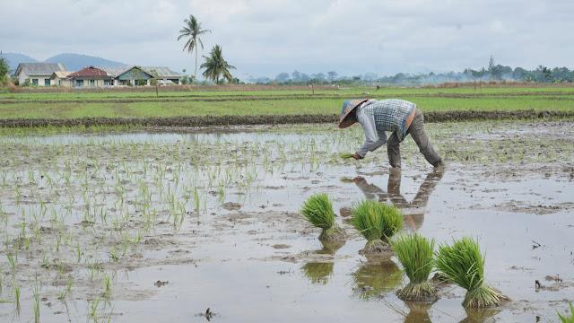 Petani Indra Damai Serentak Tanam Padi Awal Tahun