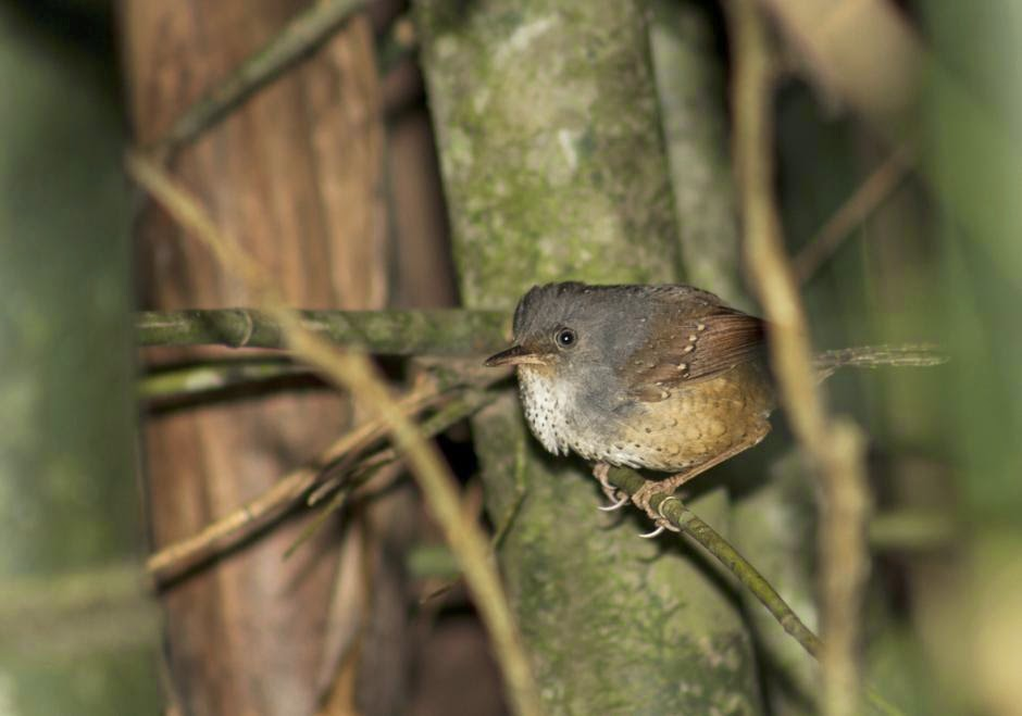 Spotted Bamboowren