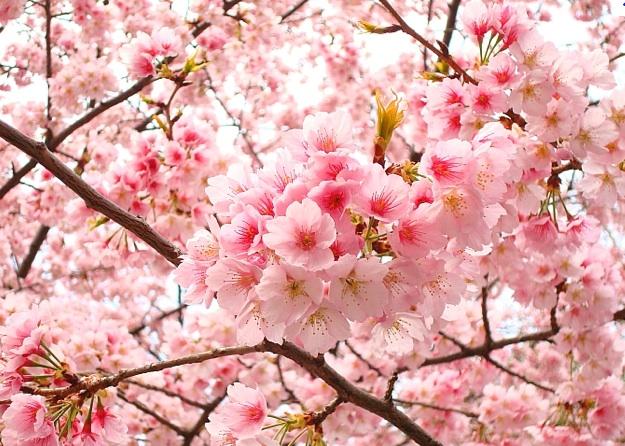 Delta Blog Penjelasan Bunga  Sakura