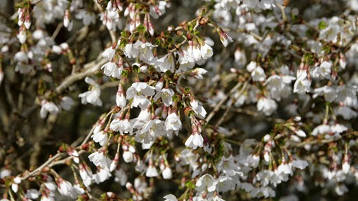 white flowers of Prunus incisa 'Kojo-no-mai'