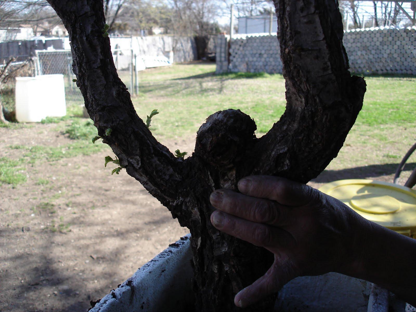 Bonsai Tree 20 Awesome Bent Tree Bonsai Photos