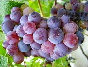 sudah dipercaya semenjak ribuan tahun kemudian sebagai buah yang kaya akan  manfaat bagi keseha Anggur Buah Lezat Andalan Para Ratu Untuk