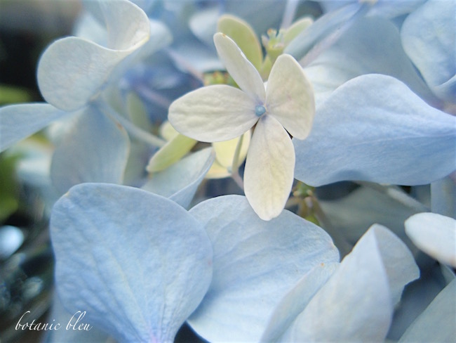 blue-hydrangea-with-white-blossom