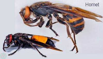 hornet, hornet insect