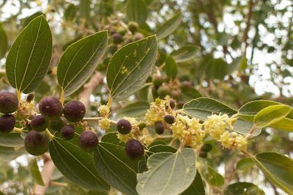 Khasiat Pohon Bidara untuk Kesehatan