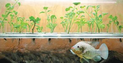 ΕΠΙΒΙΩΣΗ - ΔΙΑΒΙΩΣΗ: Επαναστατική καλλιεργητική μέθοδος με ψάρια!