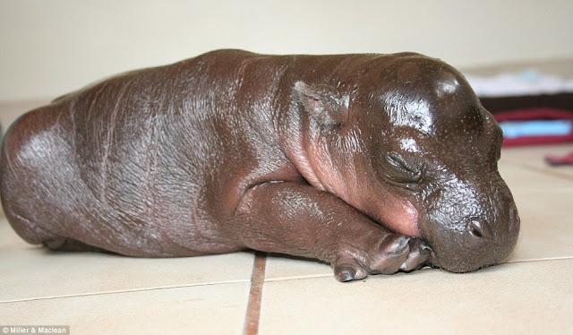 adorable harry the hippopotamus