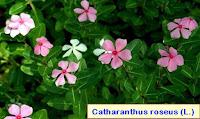 Cancer breast natural medicine