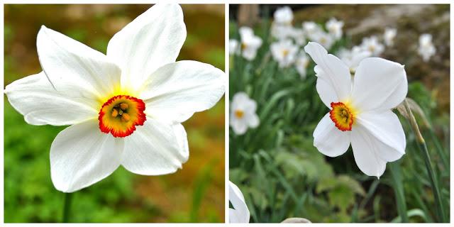 Narcissus poeticus 'Actaea'