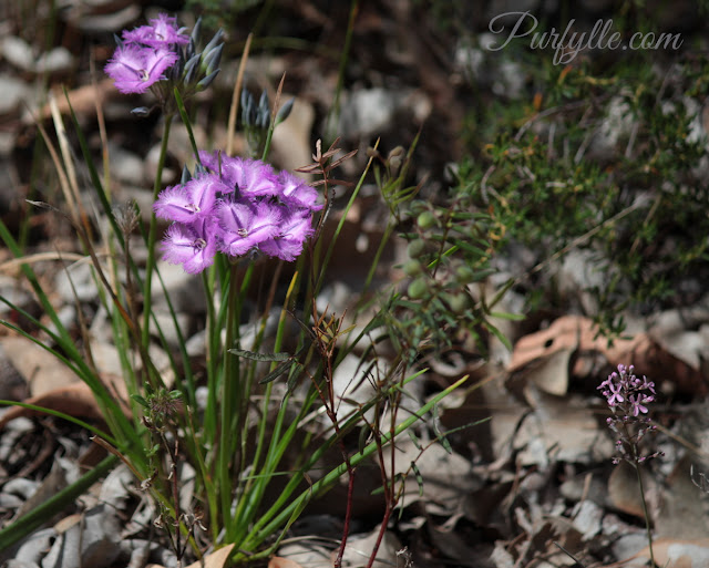 Thysanotus multiflorus a.k.a. Many-flowered Fringe Lily