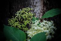 http://fineartfotografie.blogspot.de/2013/06/holunder-bluht.html