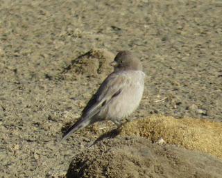 Black-headed Mountain-Finch